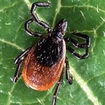 Southern Tick-Associated Rash Illness (STARI)