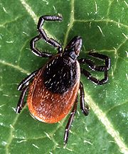 Southern Tick-Associated Rash Illness, STARI,infection causing a rash,LYME DISEASE,  lone star tick,Amblyomma americanum, Borrelia lonestari